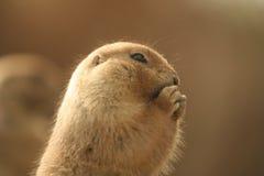 zmielona głodna wiewiórka Fotografia Stock