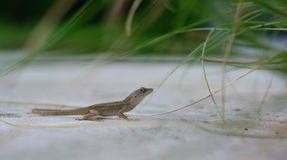 zmielona jaszczurka Zdjęcie Stock