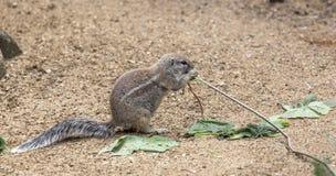 Zmielona wiewiórka żuć sprig drzewo Fotografia Stock