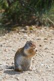 Zmielona wiewiórka Zdjęcia Stock