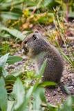 Zmielona wiewiórka Fotografia Stock