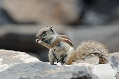 Zmielona wiewiórka Fotografia Royalty Free
