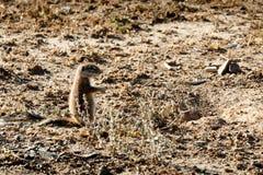 Zmielona wiewiórka - Halnej zebry park narodowy Zdjęcie Stock