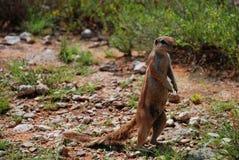 Zmielona wiewiórka Kgalagadi Transfrontier park Północny przylądek, Południowa Afryka Obraz Stock