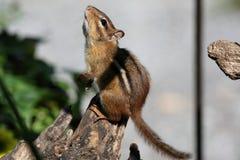 Zmielona Wiewiórka na Driftwood Modleniu dla Jedzenia Fotografia Royalty Free