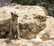 Zmielona wiewiórka na mnie jest tylnymi nogami Zdjęcie Royalty Free