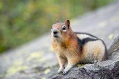 Zmielona wiewiórka na skale obraz stock