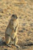 Zmielona wiewiórka Patrzeje dla przyjaciela - Afrykański przyrody tło - Zdjęcie Stock