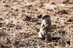 Zmielona wiewiórka - przyroda park Fotografia Stock