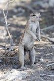 Zmielona wiewiórka w Etosha parku Fotografia Stock