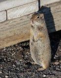 Zmielona wiewiórka w Yellowstone Zdjęcia Stock
