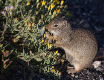 Zmielona wiewiórka w Yellowstone Obraz Royalty Free