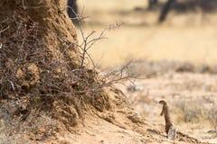 Zmielona wiewiórka przed drzewem Zdjęcia Stock