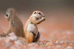 zmielone łasowanie wiewiórki Obrazy Royalty Free