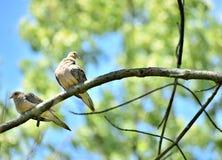 Zmielone gołąbki Wysokie Up w drzewie Zdjęcie Stock