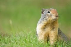 Zmielonego wiewiórczego Chipmunk Skaliste góry Zdjęcie Stock