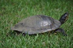 Zmielony żółw Zdjęcie Stock
