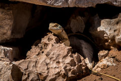 Zmielony agama chuje w jamie w Kgalagadi Obraz Stock