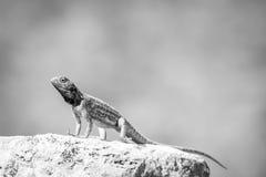 Zmielony agama wygrzewa się na skale w czarny i biały Zdjęcia Royalty Free