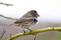 Zmielony finch ptak w Galapagos wyspach zdjęcia stock