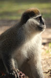 zmielony małpi vervet zdjęcia royalty free