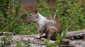 Zmielony wiewiórczy ziewanie