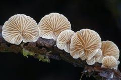 Zmienny Oysterling grzyb zdjęcie royalty free