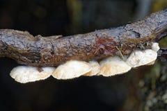Zmienny Oysterling grzyb obrazy royalty free