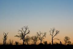 zmierzchów drzewa Fotografia Stock
