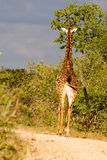 Zmierzch drogi żyrafa Fotografia Stock