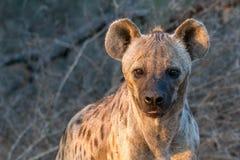 Zmierzch hiena Obrazy Royalty Free