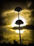 Zmierzch i kwiat Obrazy Stock