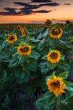 Zmierzch i słoneczniki zdjęcie royalty free