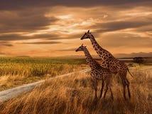 Zmierzch i Żyrafy Zdjęcia Royalty Free