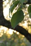 Zmierzch jabłoni liść obraz stock