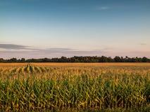 Zmierzch Nad Rolniczym Kukurydzanym polem Obraz Royalty Free