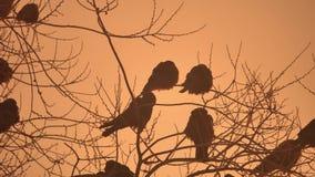 Zmierzch natury wron kierdel ptaki siedzi na drzewnym zimy zimnie Zdjęcie Royalty Free