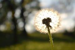 Zmierzch przez białego dandelion kwiatu obraz royalty free
