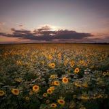 Zmierzch przy słonecznika polem. zdjęcia royalty free