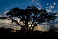 Zmierzch sylwetka akacjowi drzewa w Afrykańskiej sawannie Zdjęcia Stock