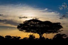 Zmierzch sylwetka akacjowy drzewo w Afryka sawannie Zdjęcie Royalty Free