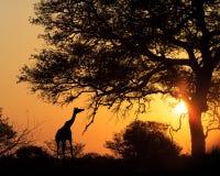 Zmierzch sylwetki żyrafy łasowanie Od drzewa Obrazy Stock