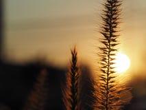 Zmierzch, trawa kwiat z zmierzchu światła tłem/ Fotografia Stock