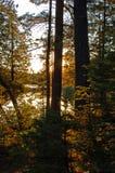 Zmierzch w świerkowym lesie zdjęcie royalty free