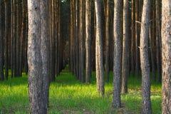 Zmierzch w lesie obrazy stock