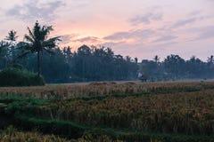Zmierzch w ryżowych polach Ubud w Bali, Indonezja zdjęcie stock