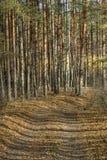 Zmierzch w Sosnowym lesie Fotografia Stock