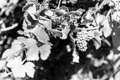 Zmierzch w winnicach Friuli Venezia Giulia Obraz Royalty Free
