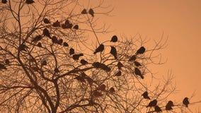Zmierzch wron kierdel natura ptaki siedzi na drzewnym zimy zimnie Zdjęcia Royalty Free