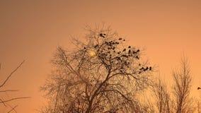 Zmierzch wron kierdel ptaki siedzi na drzewnym natury zimy zimnie Fotografia Stock